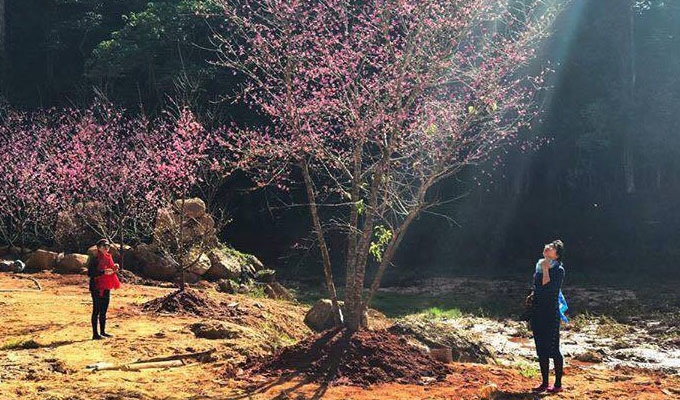 Japan's cherry blossoms come to Da Lat